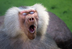 De baviaan van de geeuw stock foto's