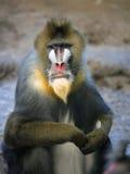 De baviaan van de mandril Stock Afbeeldingen