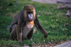 De baviaan van de mandril Stock Foto's