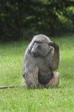 De baviaan van de olijf het krassen. Stock Afbeelding