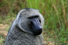De Baviaan van de olijf, Oeganda, Afrika stock foto's