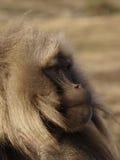 De baviaan van Gelada Stock Afbeelding