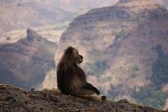 De baviaan van Gelada royalty-vrije stock afbeelding