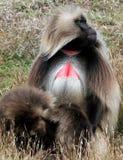 De baviaan van Gelada royalty-vrije stock afbeeldingen