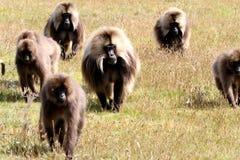 De baviaan van Gelada stock foto