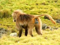 De baviaan van Gelada stock fotografie