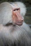 De baviaan van Hamadryas Stock Foto's