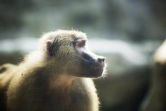 De baviaan van Hamadryas Royalty-vrije Stock Afbeelding