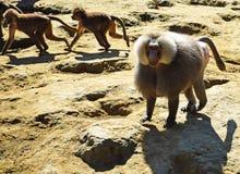 De bavianen lopen openlucht stock fotografie