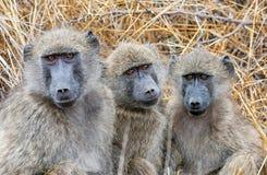 De bavianen van Chacma royalty-vrije stock afbeeldingen