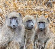 De bavianen van Chacma stock afbeelding