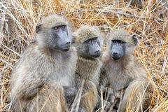 De bavianen van Chacma stock afbeeldingen