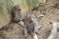 De bavianen van de zitting Stock Afbeeldingen