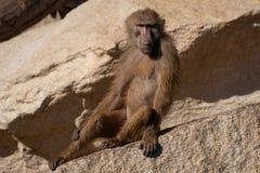 De bavianen zijn Oude Wereldapen royalty-vrije stock foto's