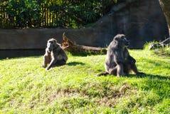 De bavianen zitten op het gazon stock afbeelding