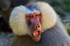 De baviaan van Hamadryas Stock Afbeeldingen