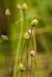 De beaux, vibrants détails d'un butterwort de terrain communal fleurit dans le marais après la pluie Photos libres de droits