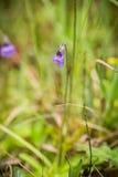 De beaux, vibrants détails d'un butterwort de terrain communal fleurit dans le marais après la pluie Photo libre de droits