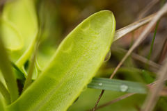 De beaux, vibrants détails d'un butterwort de terrain communal fleurit dans le marais après la pluie Images stock