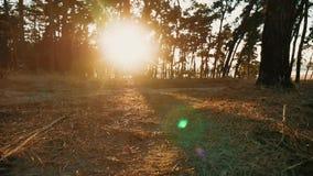 De beboste bomen van het Pijnboom bossilhouet backlit door gouden zonlicht vóór zonsondergang met zonstralen die door bomen giete stock video