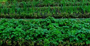 De bedden van aardbeien, bessen en uien het tuinseizoen royalty-vrije stock foto's