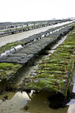De bedden van de oester Stock Afbeelding