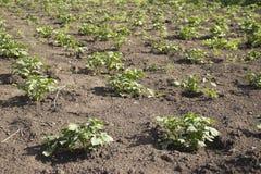 De bedden worden geplant met aardappels onder natuurlijk licht royalty-vrije stock fotografie