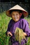 De bedelaars zijn Meren/Vietnam, 02/11/2017: Glimlachende lokale Vietnamese vrouw met kegelhoed het oogsten rijst op een gebied stock afbeeldingen
