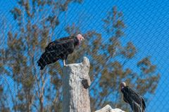 De bedreigde die gier van Californië condor in gevangenschap bij de dierentuin van San Diego wordt gehouden royalty-vrije stock fotografie