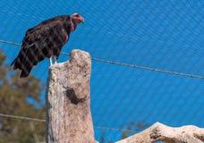 De bedreigde die gier van Californië condor in gevangenschap bij de dierentuin van San Diego wordt gehouden stock foto's