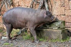 De bedreigde diersoort van Babirusacelebes Babyrousa babyrussa stock afbeelding