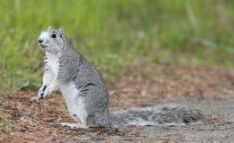 De bedreigde Eekhoorn van het Schiereiland Delmarva royalty-vrije stock afbeelding