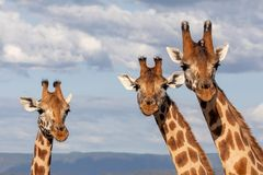 De bedreigde Giraf van Rothchild, Kenia, Afrika royalty-vrije stock foto
