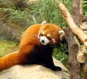 De bedreigde rode panda Stock Foto