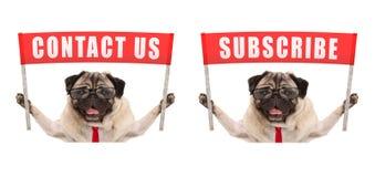 De bedrijfspug hond die rood bannerteken met tekst steunen contacteert ons en tekent in Stock Afbeelding