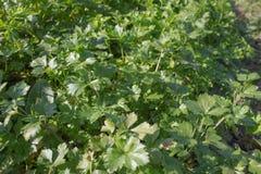 De beelden van peterselie in de natuurlijke organische hobby tuinieren, beelden van peterselieinstallatie Royalty-vrije Stock Fotografie