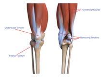 De beenderen en de spieren de benen Stock Foto