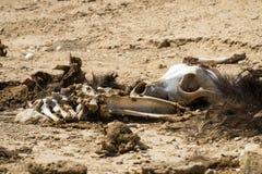 De beenderen en de schedel van een dode hond met de overblijfselen van wol en vlees liggen op de grond in de woestijn Royalty-vrije Stock Foto