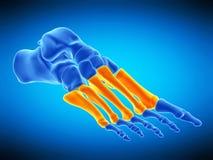 De beenderen van de middenvoet vector illustratie