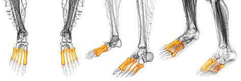 De beenderen van de middenvoet Stock Foto