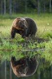De beer door het meer Stock Fotografie