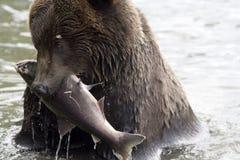 De beer heeft gevist Royalty-vrije Stock Fotografie
