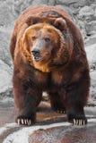 De beer is volledig, is het lichaam van de beer krachtig tegen de achtergrond van stenen; de beer komt naderbij stock fotografie