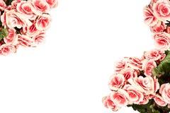 De begonia bloeit prentbriefkaar Stock Foto
