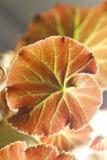 De begonia's van het blad Stock Foto's