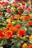 De Begonia van Tuberos Stock Fotografie