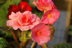 De Begonia van Tuberos Royalty-vrije Stock Foto