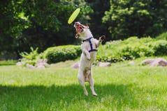 De behendige hond springt en maakt trucs met vliegende schijf Stock Fotografie