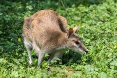 De behendige wallaby, Macropus-agilis die ook als de zandige wallaby wordt bekend stock foto's