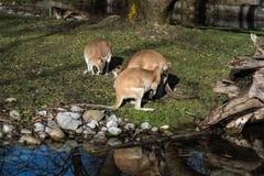De behendige wallaby, Macropus-agilis die ook als de zandige wallaby wordt bekend royalty-vrije stock fotografie